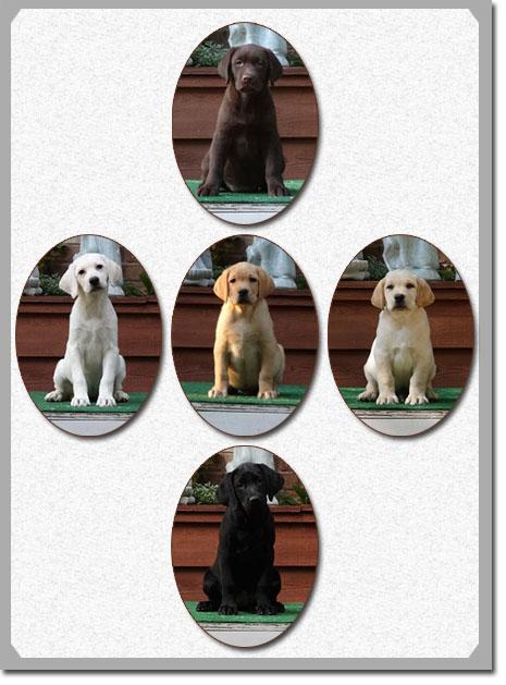 Trained Labrador Retrievers For Sale Labrador Companion Puppies